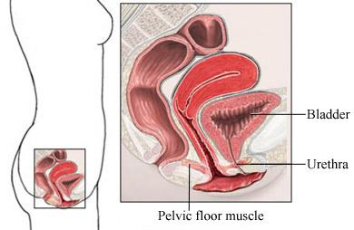 Muscles Involved in Incontinence in Women