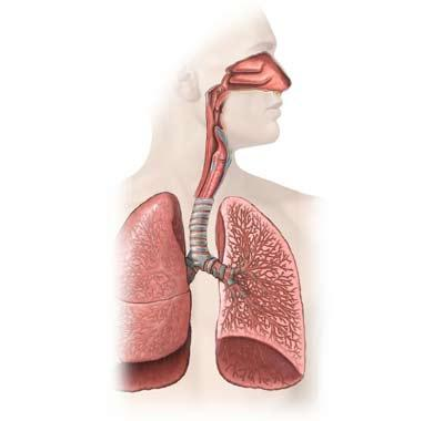 The Lungs (Cut-away View)